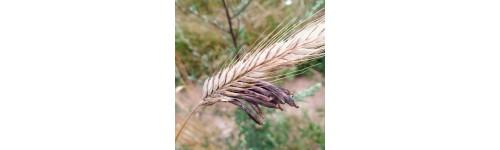 Ergot et Autres Mycotoxines